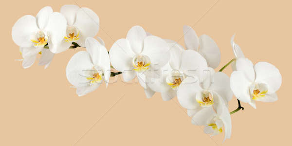 romantic branch of white orchid Stock photo © artush