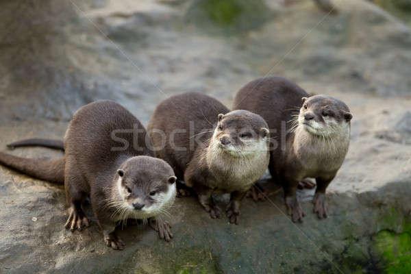 European otter (Lutra lutra) Stock photo © artush