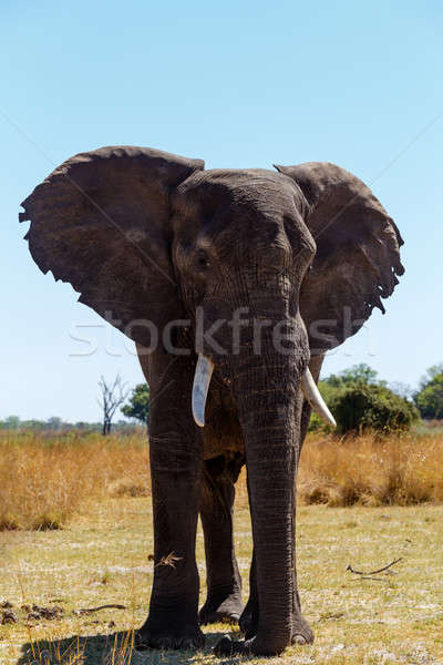 African elephant Africa safari wildlife and wilderness Stock photo © artush