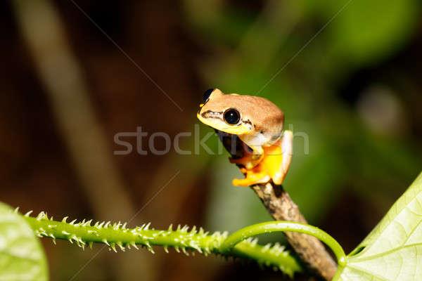 Kicsi citromsárga levelibéka család Madagaszkár park Stock fotó © artush