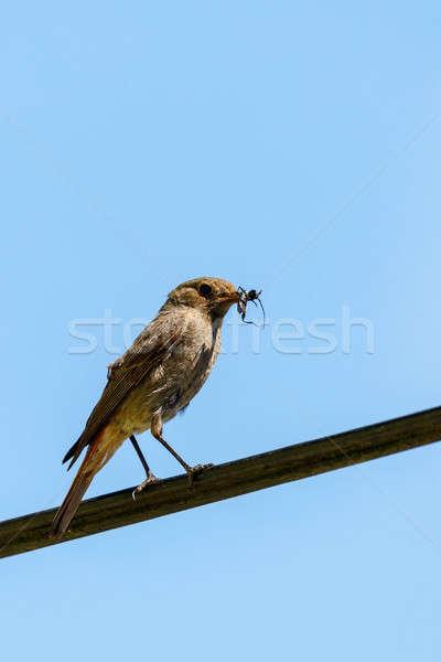 Kuş siyah böcek gaga avrupa yaban hayatı Stok fotoğraf © artush