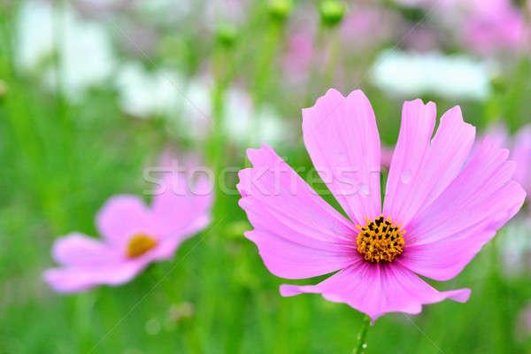 Flor rosa campo flor fondo Foto stock © arztsamui