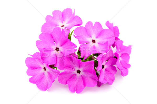 A large pink flowered primrose Stock photo © ashumskiy