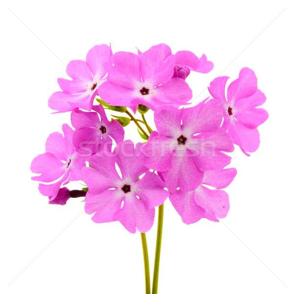Grande rosa prímula isolado branco flor Foto stock © ashumskiy