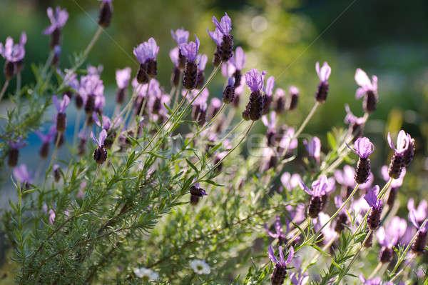 Spaans lavendel zonneschijn mooie paars licht Stockfoto © aspenrock