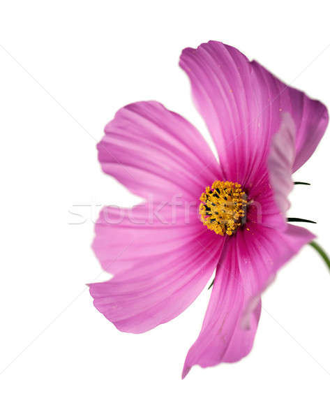 closeup of a cosmo flower with focus on yellow pistil Stock photo © aspenrock