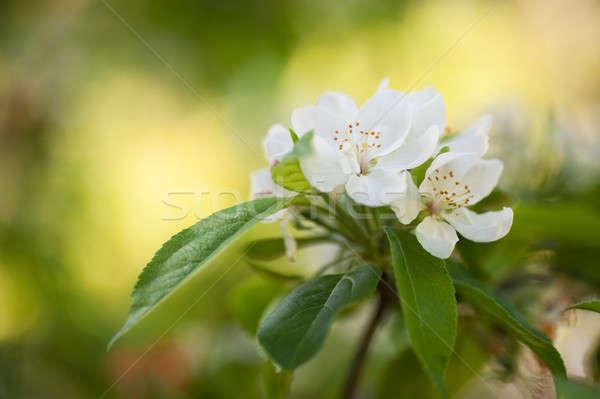 Boom bloesems licht witte bloesem Stockfoto © aspenrock