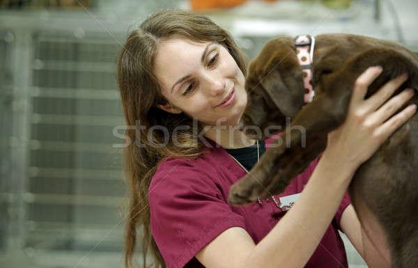 Cute bruin lab puppy bewegende Stockfoto © aspenrock