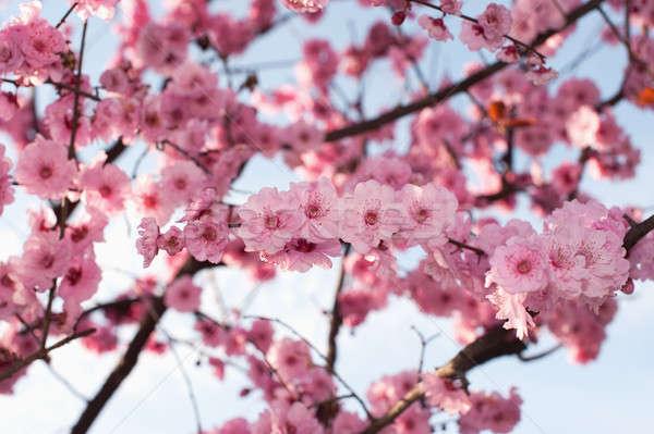Prachtig voorjaar kersenbloesem Stockfoto © aspenrock