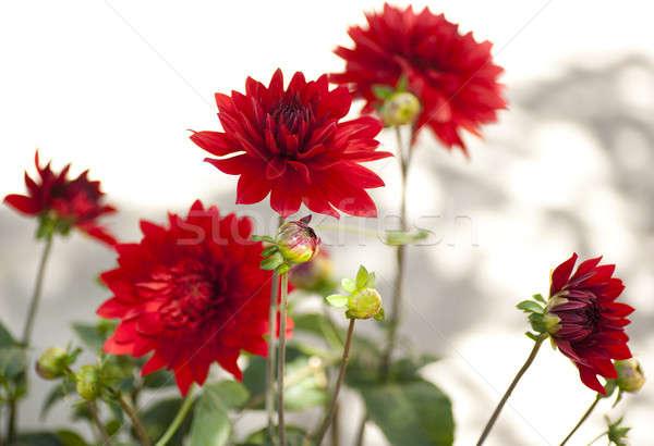 Rood mooie schaduwen witte muur Stockfoto © aspenrock
