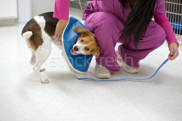 Foto d'archivio: Beagle · paziente · infermiera · cane · ragazza