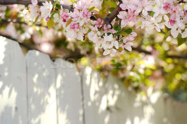 Appel bloesems witte hek mooie voorjaar Stockfoto © aspenrock