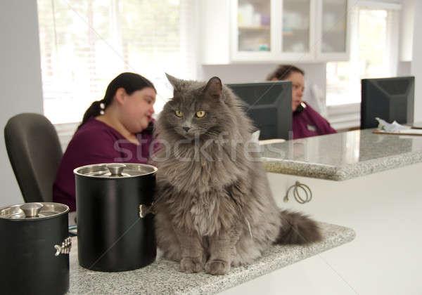 beautiful cat at a vet's reception Stock photo © aspenrock