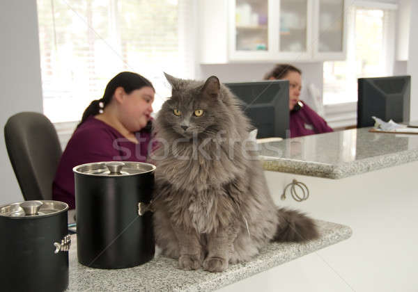 Güzel kedi resepsiyon telefon veteriner ofis Stok fotoğraf © aspenrock