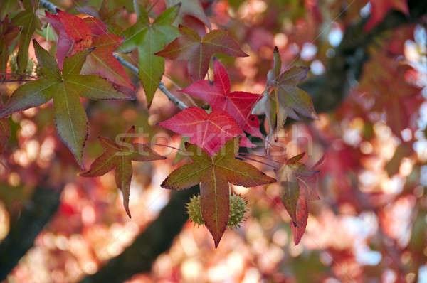 Esdoorn bladeren Rood boom Stockfoto © aspenrock