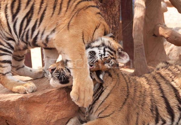 Tijger knuffel hartelijk Thailand keten spelen Stockfoto © aspenrock