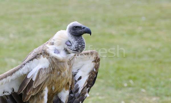Afrikai fehér dögkeselyű zöld madár toll Stock fotó © asturianu