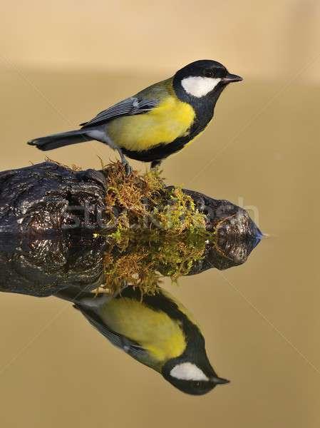 Тит воды небольшой желтый белый Сток-фото © asturianu