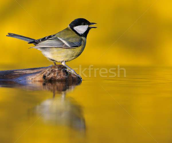 Stock photo: Great tit at sunset.