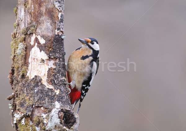 Great spotted woodpecker perched. Stock photo © asturianu