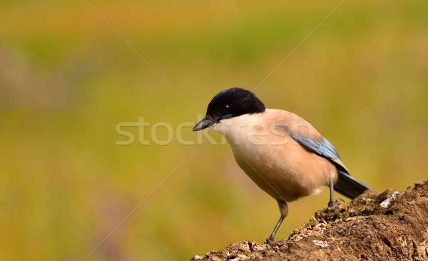 Azure winged magpie perched on a branch Stock photo © asturianu