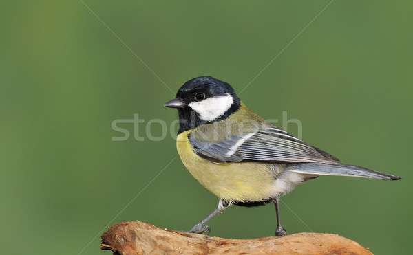 Gret tit. Stock photo © asturianu