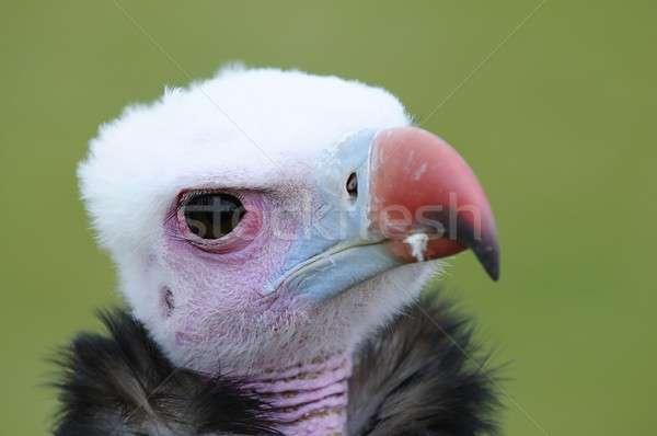 африканских белый гриф зеленый птица Перу Сток-фото © asturianu