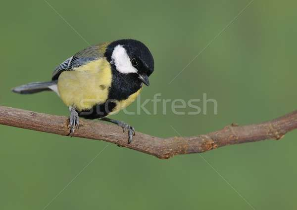 Parus major. Stock photo © asturianu