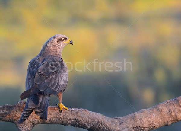 Black kite perched on a branch. Stock photo © asturianu