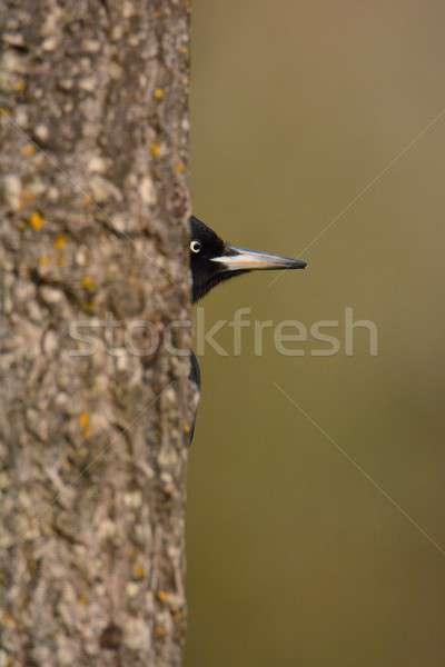 Black woodpecker, Dryocopus martius perched on tree. Stock photo © asturianu