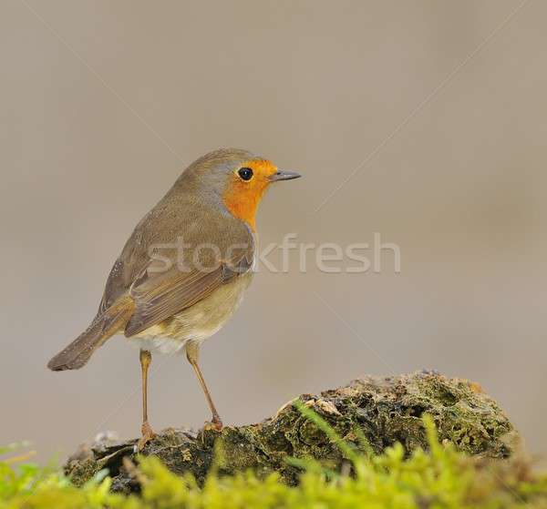 Borst vogel tabel winter vogels christmas Stockfoto © asturianu