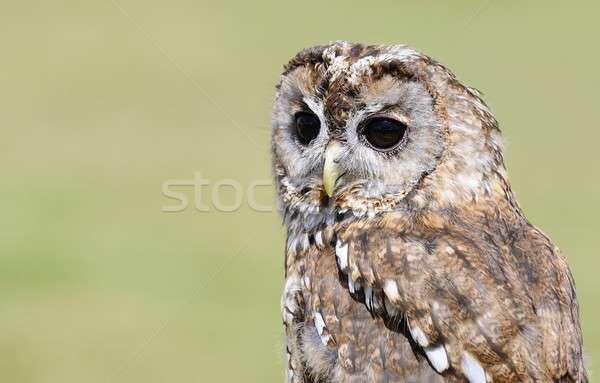 Tawny owl, strix aluco. Stock photo © asturianu