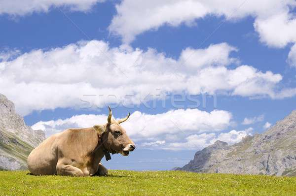 Tudanca cow. Stock photo © asturianu