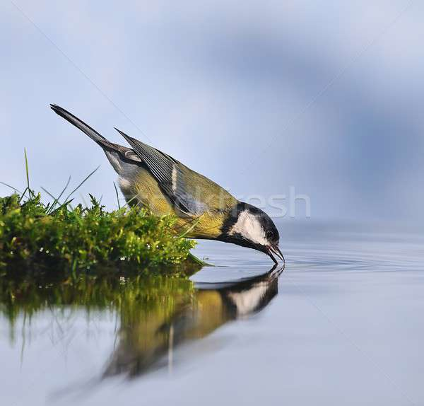 Great Tit drinking water. Stock photo © asturianu