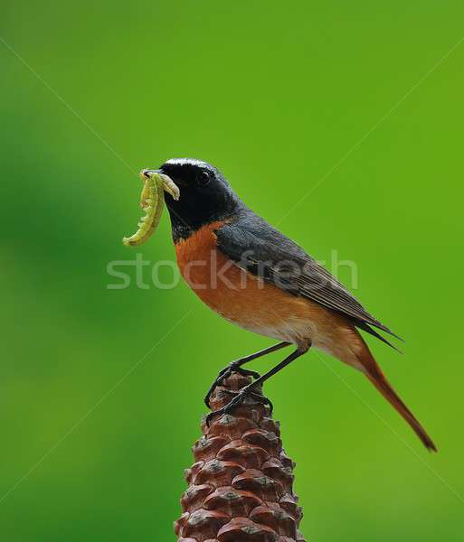Caça lagartas pássaro peito aves cores Foto stock © asturianu