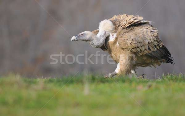 Griffon vulture in the meadow of Leon. Stock photo © asturianu