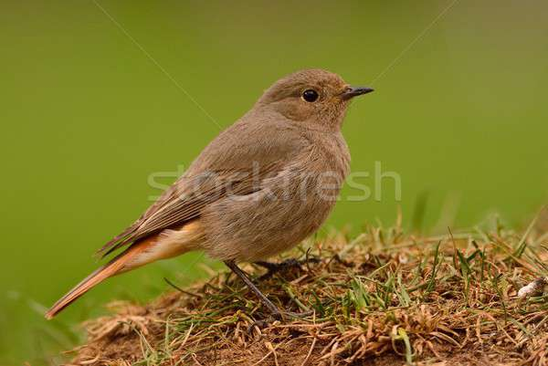 Young female redstart perched on the grass. Stock photo © asturianu