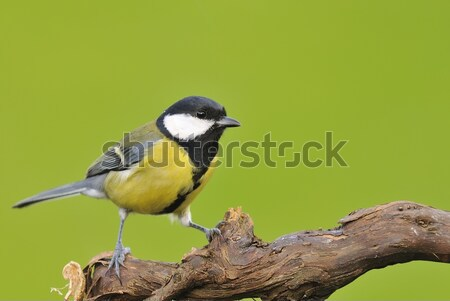 Great tit in the garden. Stock photo © asturianu