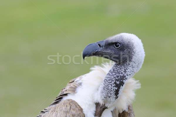 African white backed vulture. Stock photo © asturianu