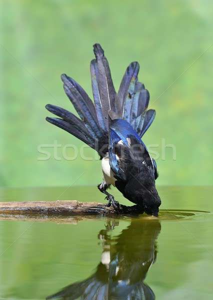 A magpie drinking. Stock photo © asturianu