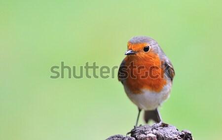 Countryside Bird. Stock photo © asturianu