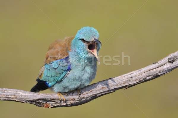 ヨーロッパの 支店 背景 鳥 羽毛 色 ストックフォト © asturianu