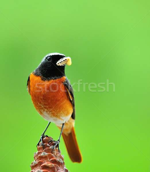 Redstart. Stock photo © asturianu