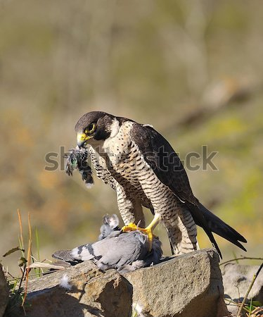 Halcón caza paloma ojo cara naturaleza Foto stock © asturianu