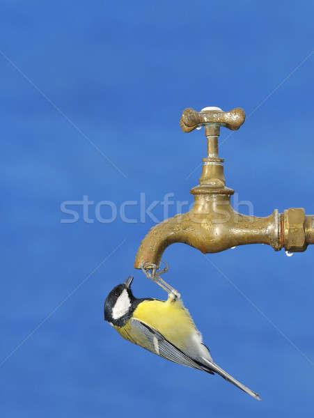 Pequeno teta água potável isolado azul Foto stock © asturianu