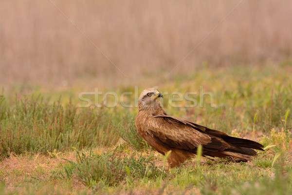 Black kite, Milvus migrans perched. Stock photo © asturianu