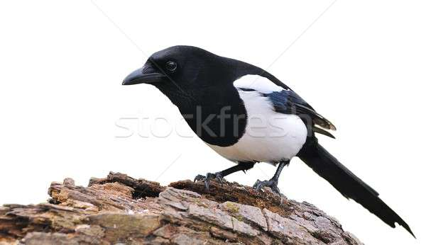 Stock photo: Isolated magpie.