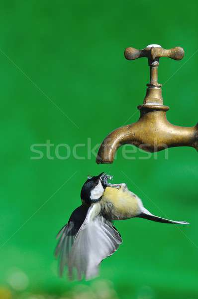 Stock photo: Great Tit.