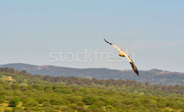 Egyptian vulture with outstretched wings. Stock photo © asturianu