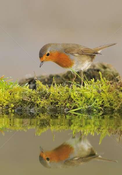 Robin. Stock photo © asturianu